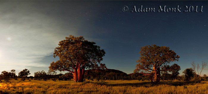 Boab trees lit by the light of the campfire in the Kimberley, WA.