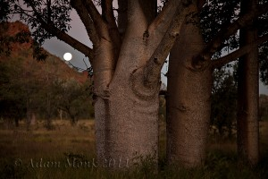 Full Moon rising behind Boab Trees, Jarlmadangah community, West Kimberley
