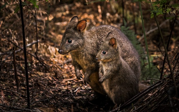 Tasmanian Pademelon wallaby