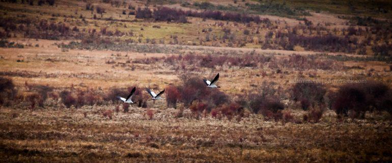 Bhutan Photo Tour 10 Black Necked Cranes
