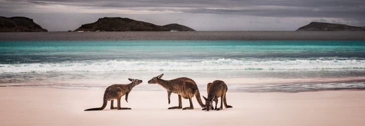 Kangaroos on the Beach, Lucky Bay Esperance.