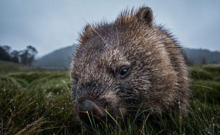 Tasmania Photo Tour wombat