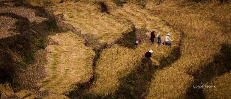 Bhutan Photo tour, rice harvest in Bhutan